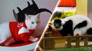 Russian Cat and Lemur Make Predictions Ahead of 2018 World Cup Opener