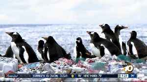 Penguins living on an island of plastic?