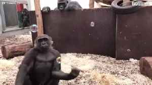 News video: Gorilla loves playing with soap bubbles