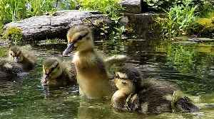 News video: Rescued ducklings' beautiful response to being released on a pond