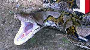 News video: Indonesian woman gets swallowed by massive python