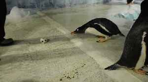 Penguins go crazy for the World Cup!