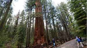 News video: Sequoias On View At Yosemite's Mariposa Grove After 3-year project