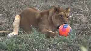 News video: Good Kick, Kitty! Lions Have World Cup Fever at Israeli Zoo