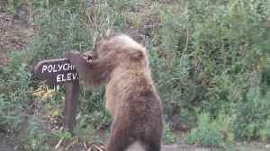 News video: Big Brown Bear Tears Down A Wooden Road Sign