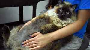 News video: Enormous 29-Pound Cat Needs Home After Being Found on California Street