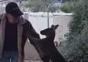 News video: Rescue Kangaroo Play Fights With 'Dad'