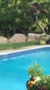 News video: Man Rescues Baby Deer From Drowning in Swimming Pool