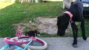 News video: Giant Great Dane Plays with Two Tiny Kittens