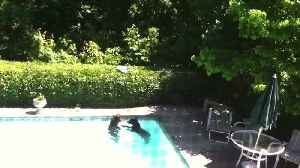 Two Bears Sneak Into The Backyard For A Swim In The Pool