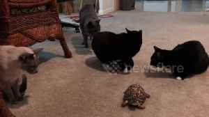 News video: Cats cautiously approach turtle for the first time