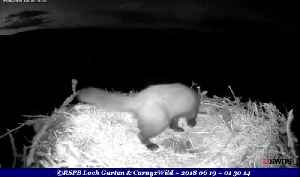 News video: Pine marten snatched three eggs laid by osprey