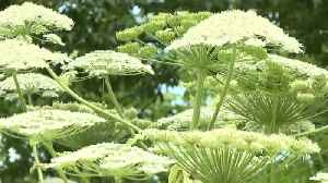 A Giant Plant That Can Cause Blindness Was Spotted for the First Time in a New State [Video]
