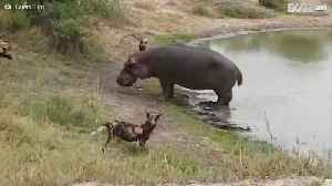 Angry hippo scares off pack of wild dogs
