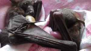 Orphaned Bats Cuddle During Australian Winter [Video]