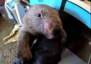Carer Juggles Two Adorable Wombats in New South Wales, Australia