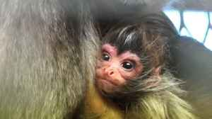 Endangered Spider Monkey Welcomes New Addition to Family at Melbourne Zoo