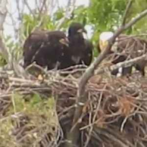 Family of bald eagles spotted in Massachusetts