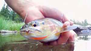 Rainbow trout making a comeback after nearing extinction