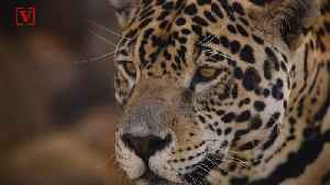One Of The Last Wild Jaguars Roaming The U.S. Is Believed To Have Been Killed