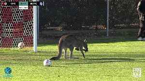 Real life 'soccer-roo' disrupts football game in Canberra [Video]