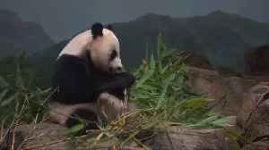 'Paws crossed!' Giant panda may be pregnant at Washington zoo [Video]