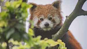 Chester Zoo Welcomes 1-Year-Old Endangered Red Panda [Video]
