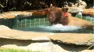 Bear Looking For A Little Relaxation Has A Margarita And Takes A Dip In the Hot Tub [Video]