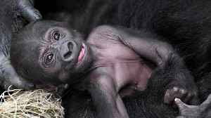 Proud Mama Gorilla Shows Off Her New Baby at Chicago Zoo [Video]