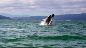 Whale makes rare splash in New Zealand [Video]