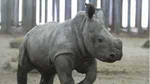 IVF Could Resurrect Northern White Rhino [Video]