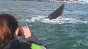 Wellington Fireworks Postponed Due to Beloved Visiting Whale [Video]