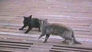 Two Cats Fight Fiercely [Video]