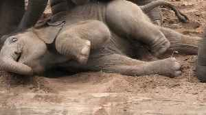 Siblings encourage fallen baby elephant to stand up [Video]
