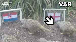 Meerkats predict England semi-final win [Video]