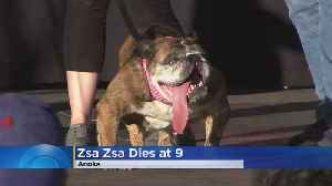Zsa Zsa Dies Just Weeks After Winning World's Ugliest Dog Contest [Video]
