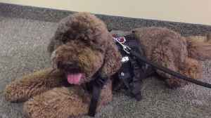 North Carolina Police Department Introduces 12-Week-Old Therapy Dog [Video]