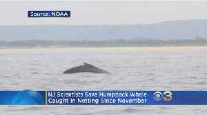 Crews Save Entangled Humpback Whale Off New Jersey Coast [Video]