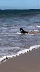 Seal Sighting on the Beach [Video]