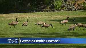Lake Wildwood Euthanizing 75 Geese With No Proven Link To E. Coli Outbreak [Video]