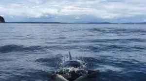 Killer Whale nearly jumps into boat off B.C. coast [Video]
