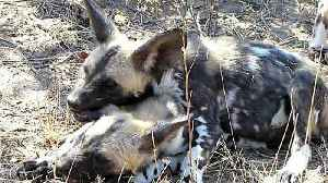 Playful wild dog puppy loves to chew his brother's ear [Video]
