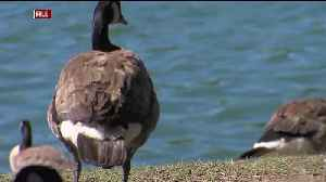 Geese to Be Euthanized Amid E. Coli Outbreaks in Northern California [Video]