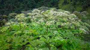 Virginia Teen Suffered Third Degree Burns From A Giant Hogweed Plant [Video]