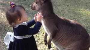 2-year-old toddler adorably plays with baby kangaroo [Video]