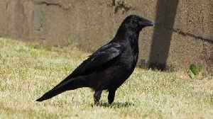 Research Says Crows and Ravens Do Not Get Along [Video]