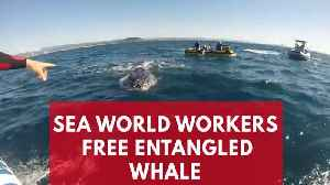 Entangled Whale Freed From Shark Net In Queensland [Video]