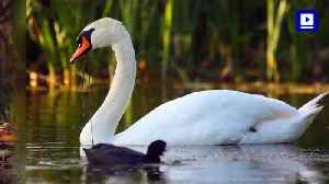 Queen Elizabeth II's Annual Swan Count Underway In Britain [Video]
