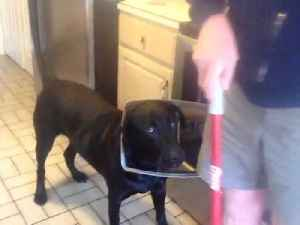 Guilty Lab Dog Is Caught Wearing Evidence [Video]