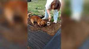 A Dachshund Dog Helps A Woman With Her Gardening [Video]
